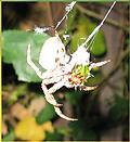 orb weaver spider in ojai california